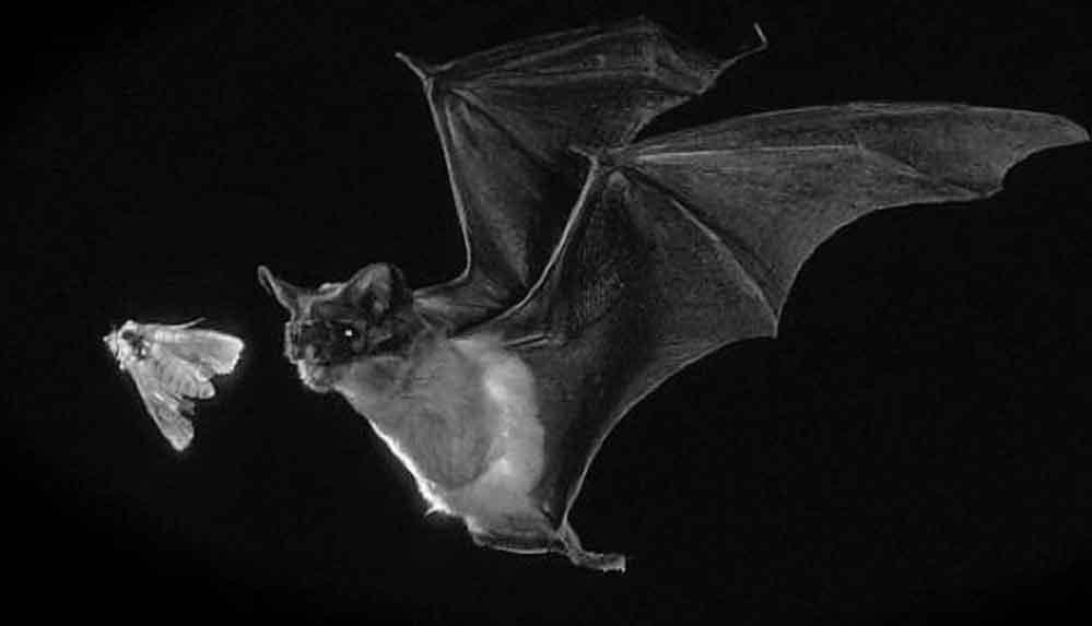 Yeni bir araştırmaya göre, 'yarasalar geleceği tahmin edebiliyor'