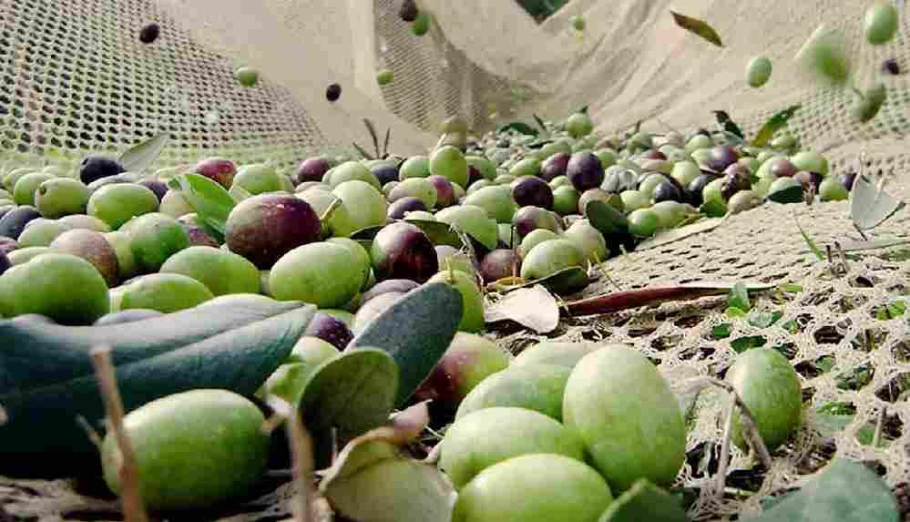 Zeytin hasadı salgın sebebiyle sekteye uğradı