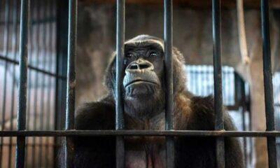 'Dünyanın en yalnız fili'nden sonra şimdi de AVM'deki gorilin özgür kalması için mücadele ediyor