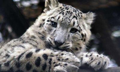 ABD'de üç kar leoparının Koronavirüs'e yakalandığı tespit edildi