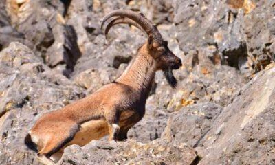Tepkiler sonuç verdi, ABD'li avcının dağ keçisi vurma izni iptal edildi