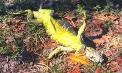 Ağaçlardan iguana düşebilir!