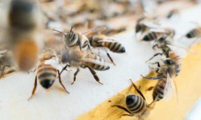 Arılar saldırılardan korunmak için başka hayvanların dışkılarını kullanıyor