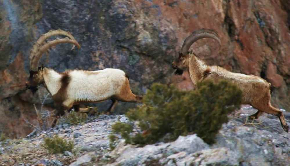 Tarım Bakanlığı yaban keçilerinin avlanmasını savundu