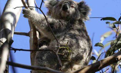 Avustralya, koalaları drone'larla sayacak