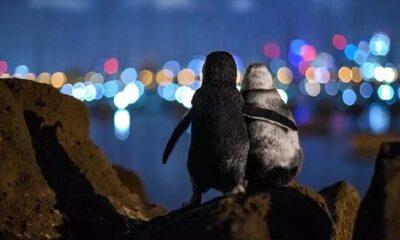 Eşlerini kaybetmiş iki penguenin tesellisi, fotoğraf ödülü getirdi
