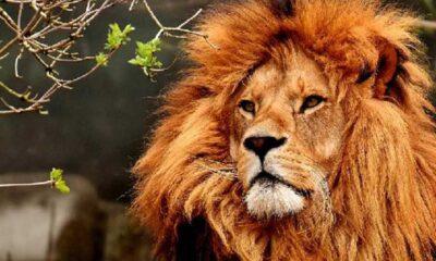 Hindistan'da iki aslan koronavirüse yakalandı