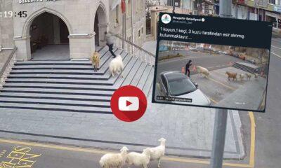 Nevşehir Belediyesi: 1 koyun, 1 keçi, 3 kuzu tarafından esir alınmış bulunmaktayız....