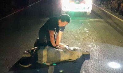 Yaralı yavru fil kalp masajıyla yaşama döndü