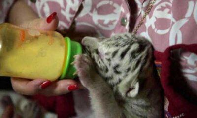 Annesinin reddettiği Beyaz Bengal Kaplanı'na hayvanat bahçesi müdürünün eşi bakıyor