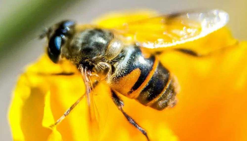 Bilim insanlarından arılarla ilgili korkutan uyarı: 1990'dan beri doğada görünmüyor