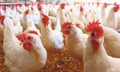 Dikkat GDO'lu tavuk çıkabilir! Bakanlık GDO'lu yeme onay verdi