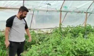 Domates çiftçisi kar edemediği ürününü söküp attı
