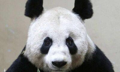 Edinburg Hayvanat Bahçesi pandaları Çin'e geri gönderebilir