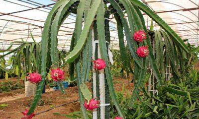 Hindistan'da 'fazla Çinli' denilerek ejder meyvesinin adı değiştirildi