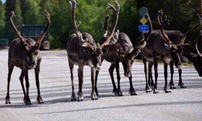 İsveç, ren geyikleri için özel köprüler inşa edecek