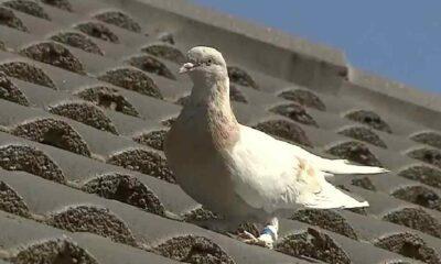 Kimliği açığa çıkan güvercin Joe yaşamaya devam edecek