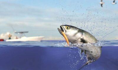 Lüfer bilinçsiz avcılık yüzünden bitmek üzere