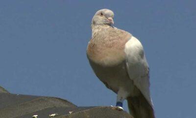 Okyanus geçerek ABD'den Avustralya'ya giden güvercin ölüm kararıyla karşı karşıya