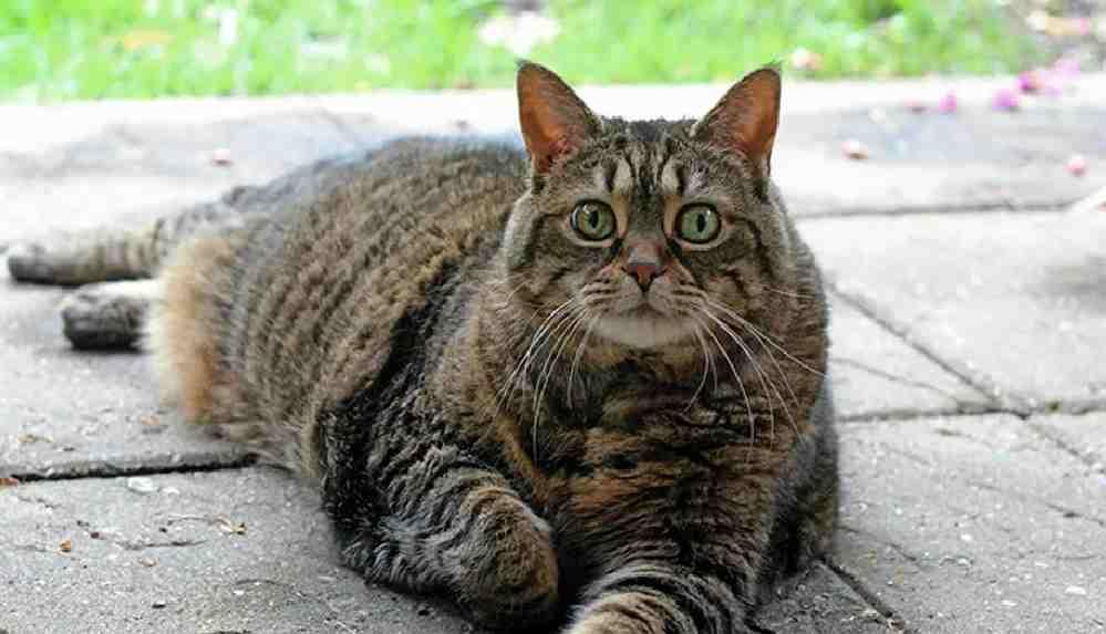 Uzmanlardan kediler için 'düzgün beslenme' uyarısı