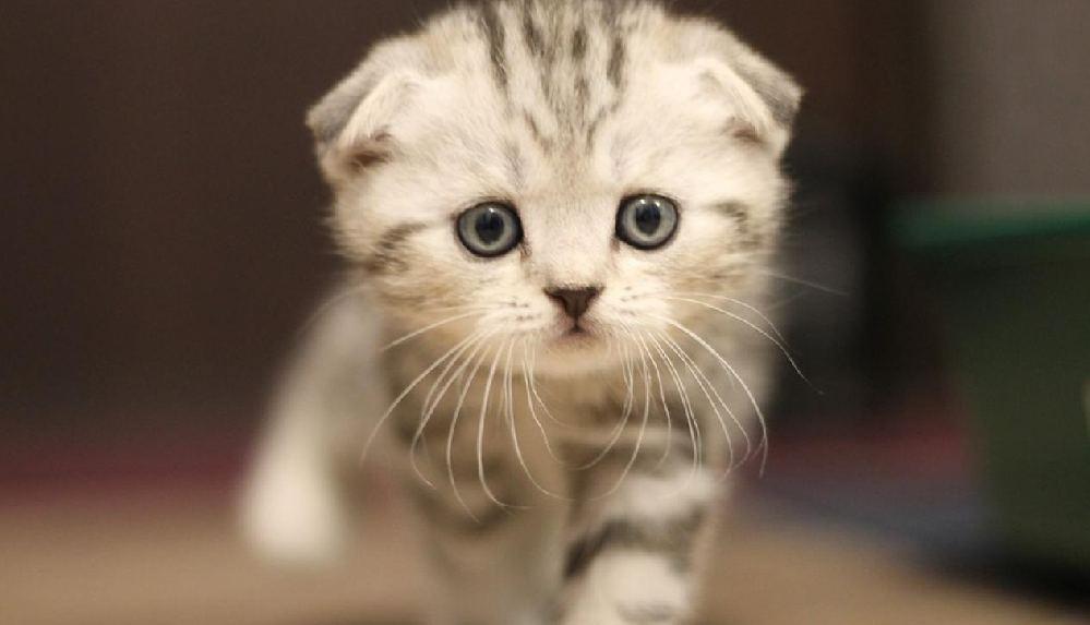 Yumuk yüzlü cins kediler duygularını ifade edemiyormuş