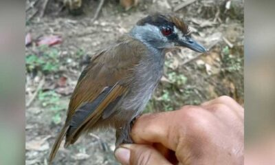 170 yıl önce soyu tükendiği sanılan kuş, Endonezya'da yeniden görüldü