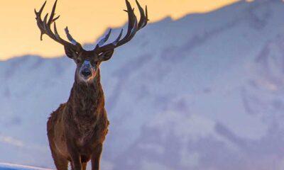 Bakanlığın temyiz başvurusuna ret: 18 kızıl geyiğin avlanması ihalesi tamamen iptal oldu