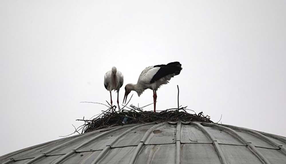 Bingöl'de cami kubbesine yuva kuran iki leylek, dört yıldır göç etmiyor