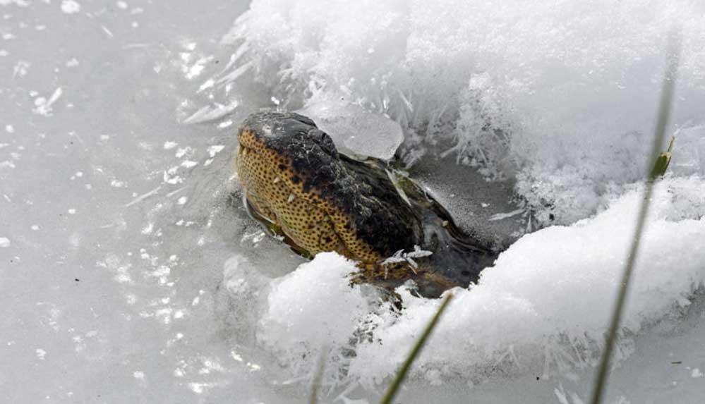 Isınmak için burunlarını buzla kaplı sudan çıkaran timsahlar kendilerini dondurdu