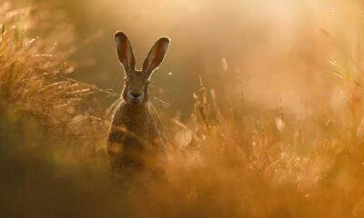 DSÖ açıkladı: Koronavirüs insanlara tavşan ve gelincik porsukları tarafından bulaştırılmış olabilir