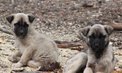 Dağlık alanda 70 köpeği ölüme terk ettiler