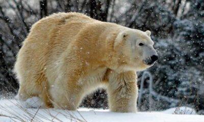 Erkek kutup ayısı çiftleşme girişimi esnasında dişiyi öldürdü