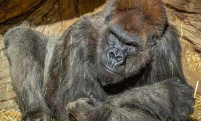 Kovid-19'a yakalanan yaşlı goril, Trump'a uygulanan tedaviyle iyileşti