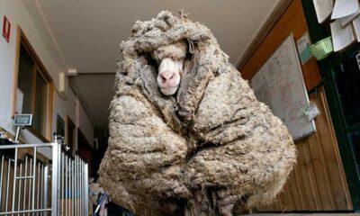 Koyun Baarack'tan 35 kilogramdan fazla yün kırpıldı