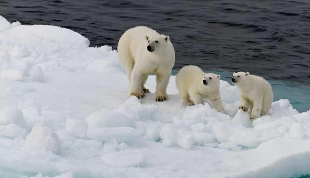 Kutup ayıları açlıktan ölüyor