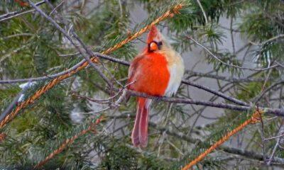 """""""Milyonda bir rastlanılan"""" yarı erkek yarı dişi kardinal kuşu görüldü"""