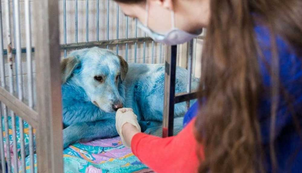 Rusya, maviye boyanmış sokak köpeklerinin gizemini çözmeye çalışıyor