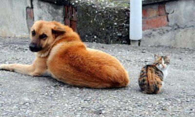 Sahipli kedi ve köpeklerin kimliklendirilmesi zorunlu oluyor
