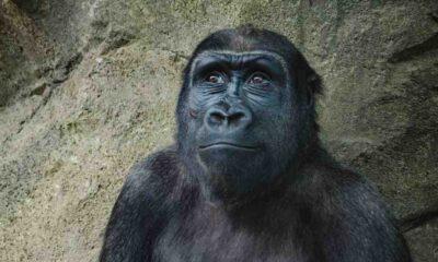 Şempanzeleri öldüren yeni bakteri türünün insanlara bulaşma ihtimali var