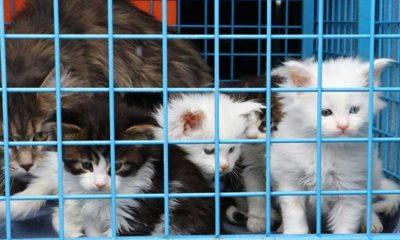 Ankara'da uygunsuz ortamda beslenip, üretimi yapılan 29 Norveç orman kedisine el konuldu