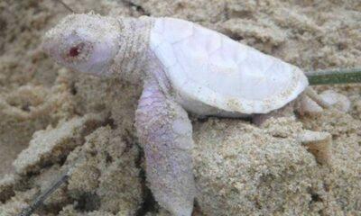 Avustralya'da hayatta kalma mücadelesi veren yavru albino kaplumbağa bulundu