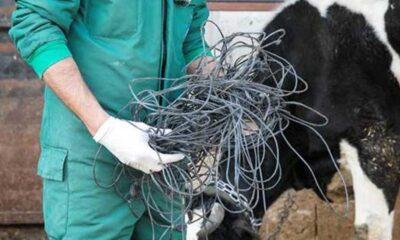 Beslenme güçlüğü çektiği için ameliyat edilen ineğin karnından 15 kiloluk halat çıktı