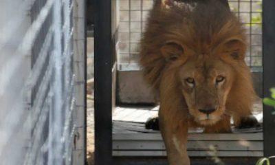 """Hayvanat bahçesinde kafese atlayan """"sarhoş"""" adam, aslandan yediği pençe ile ağır yaralandı"""