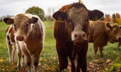 Hindistan'da hamile ineğin midesinden 71 kilo atık çıktı: Anne inek ve yavrusu öldü