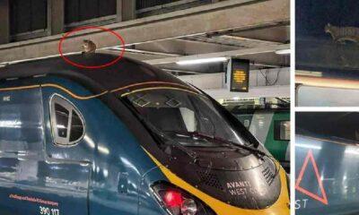 Hızlı tren üzerindeki kedi seferleri aksattı, 2,5 saatte aşağıya indi!