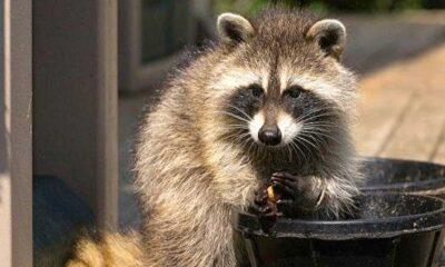 """Kanada'da rakun saldırıları son bir yılda yüzde 60 artınca yetkililer uyardı: """"Rakunları beslemeyin"""""""