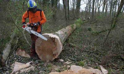 Notre Dame için 230 yıllık meşe ağaçlarını kestiler