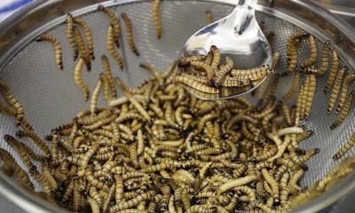 Vietnam'ın Avrupa'ya böcek yedirmesine izin çıktı