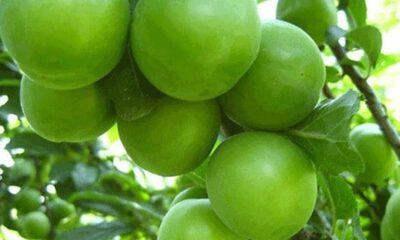 Yeşil erik tüketmeniz için 11 neden, Yeşil Erik faydaları nelerdir?