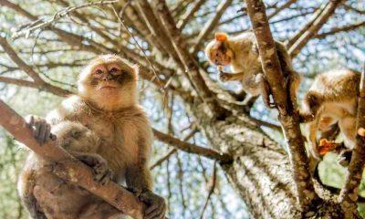Almanya'da 25 berberi şebeği hayvanat bahçesinden kaçtı